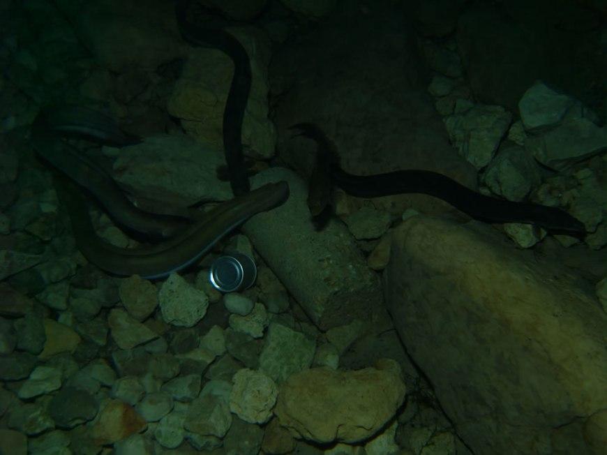Freshwater eels eating sausages at Vortex Spring, Florida