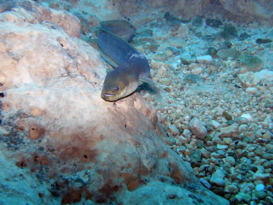 Happy eel -- wildlife of Vortex Spring