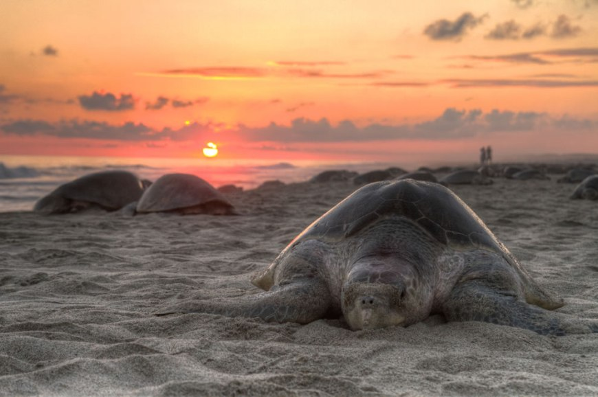 World Photography Day -- Wikimedia Commons Picture of the Year 2011 winner #12 – 29 votes in Final; Olive ridley sea turtle (Lepidochelys olivacea) nesting on escobilla, Oaxaca, Mexico