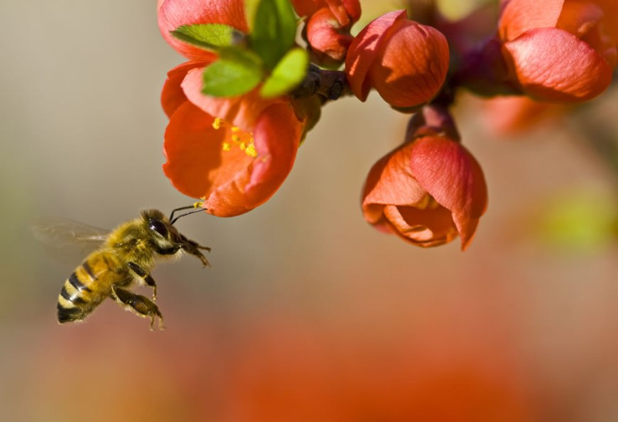 #16 – 23 votes in Final; Pollination by a bee, Wikimedia Commons Picture of the Year 2011 -- World Photography Day celebrate creative commons license