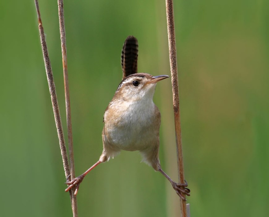 #4 – 54 votes in Final; Marsh Wren (Cistothorus palustris), Cap Tourmente National Wildlife Area, Quebec, Canada -- World Photography Day
