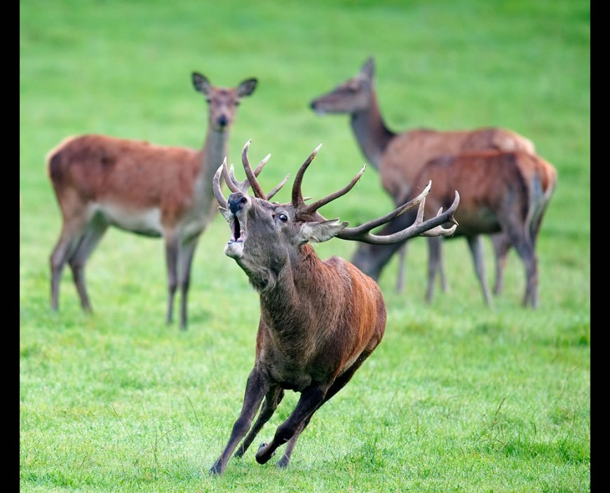 Wikimedia Commons Picture of the Year winners for 2011: #7 – 37 votes in Final; Red deer (Cervus elaphus), in Freyr forest, near Han-sur-Lesse, Belgium, World Photography Day