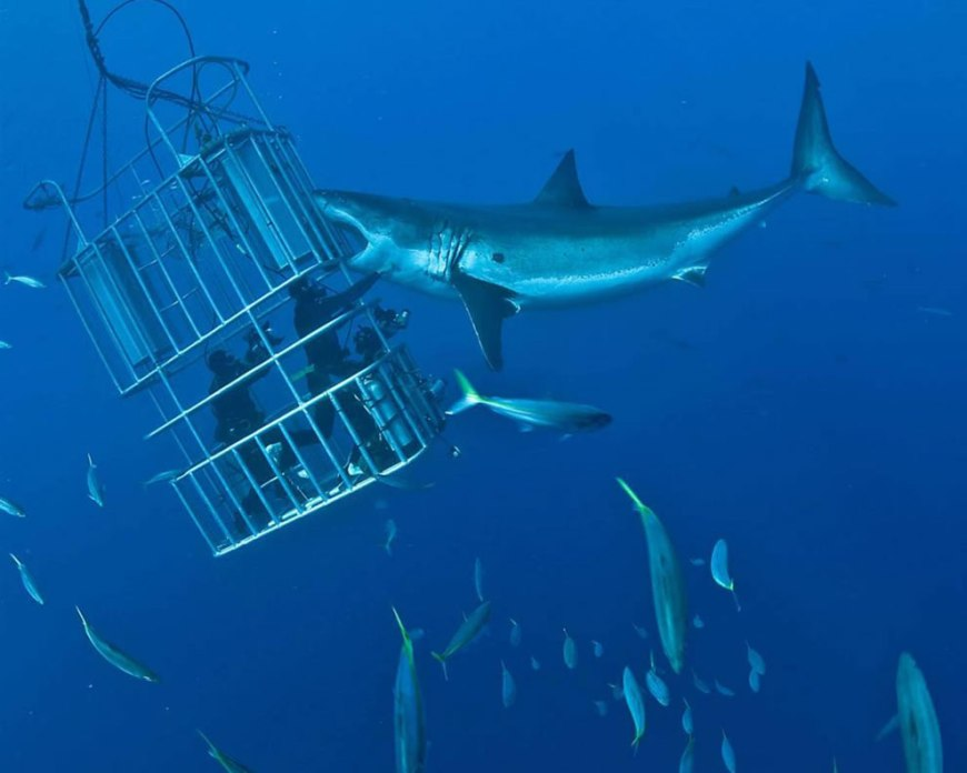 Adrenaline junkies in a cage, baiting a biting shark