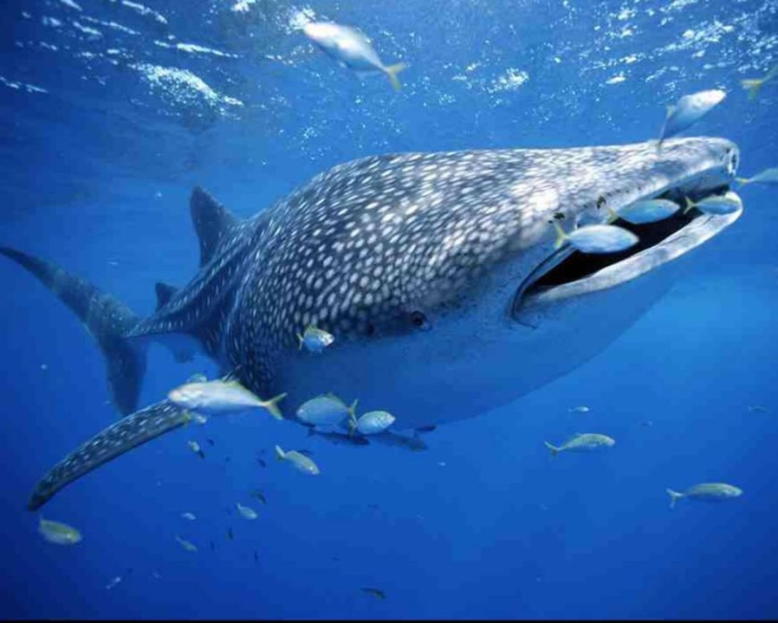 Beautiful beast, a Whale Shark