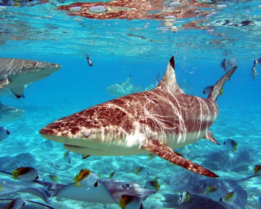 Beautiful Sand Tiger Shark