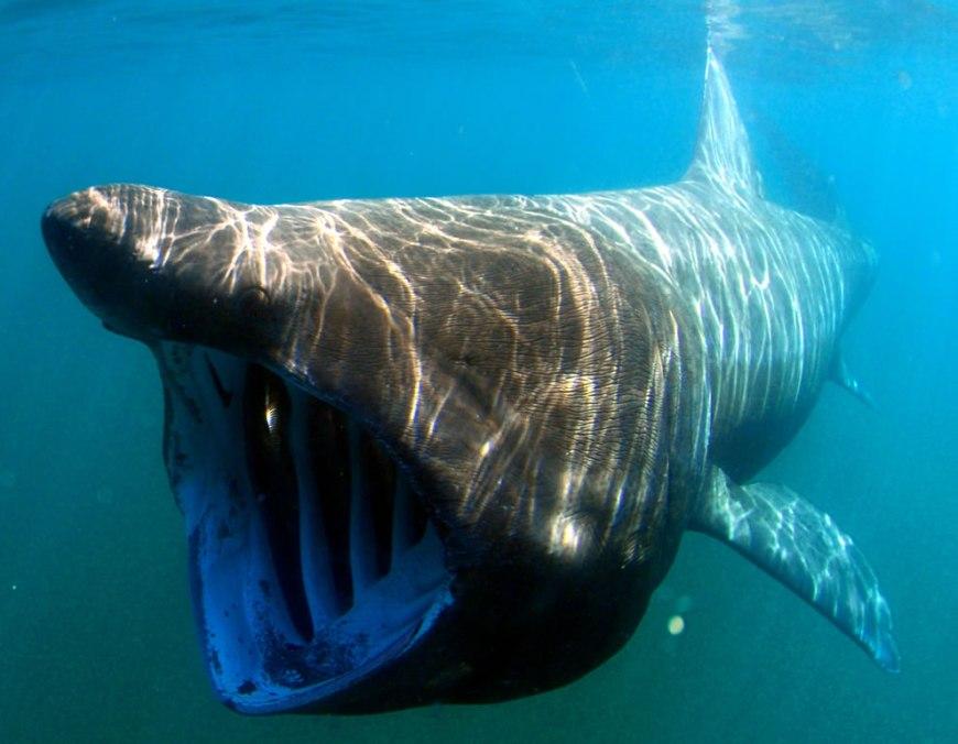 Big Basking shark