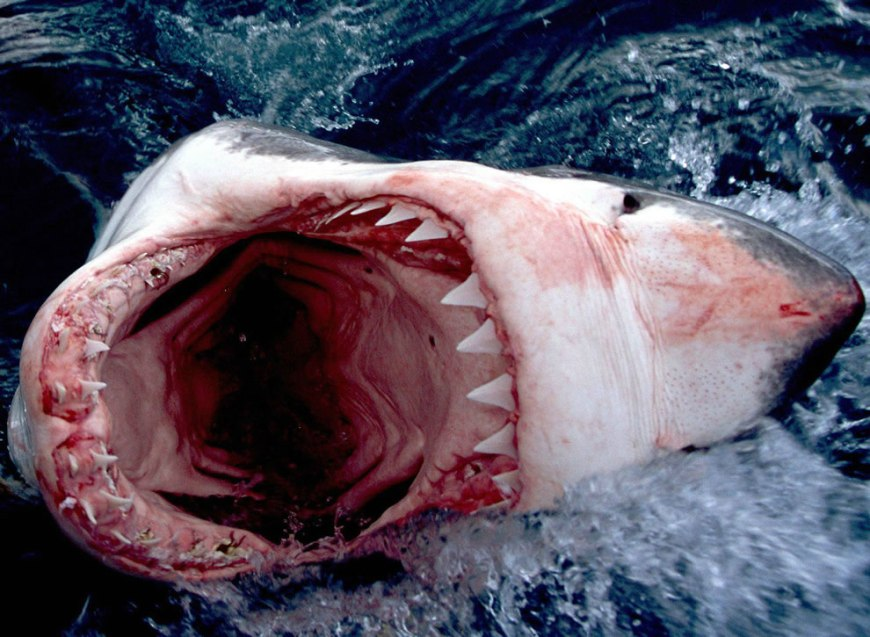 Deadly Great White Bite