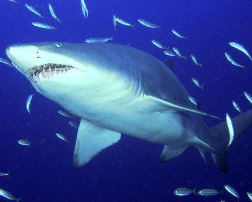 Diving the deep blue with predator Sand Tiger Shark
