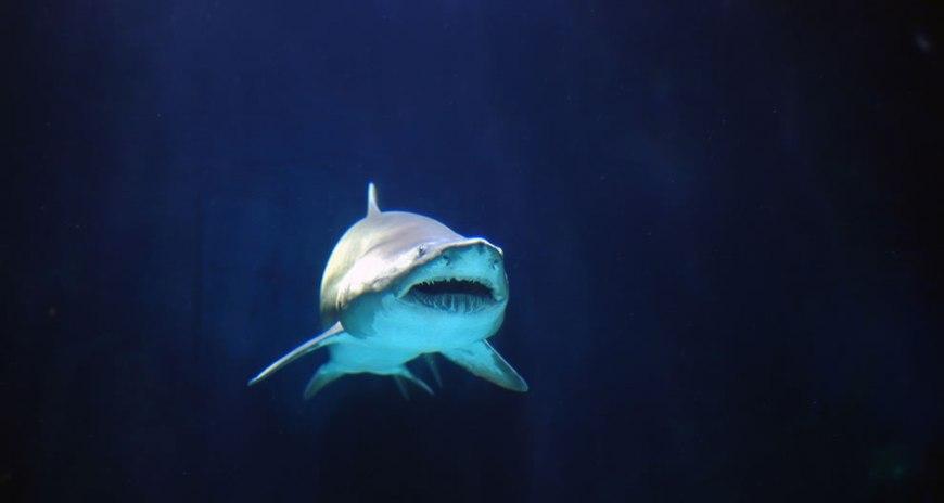 Gray Nurse Shark