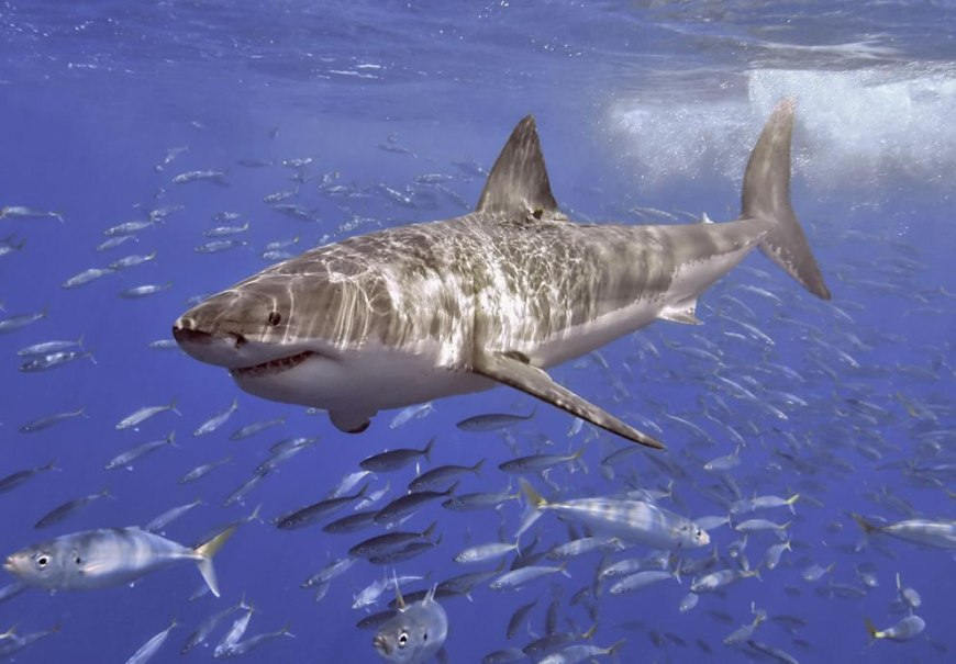 Great White at Guadalupe Mexico