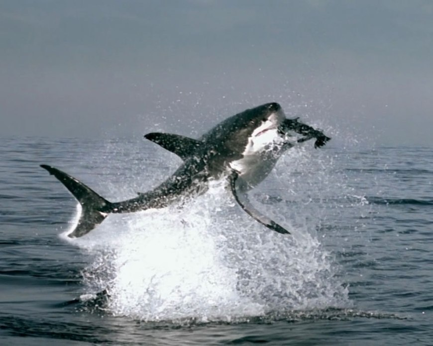 Great White Shark jumping out of water to chomp down on a seal