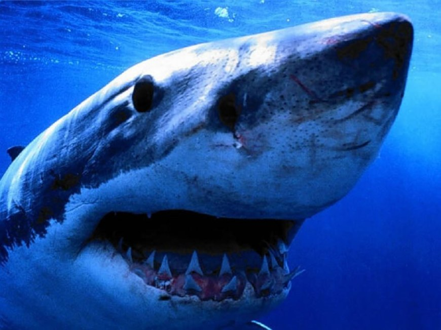 Great White shark, sharp jagged teeth from the side