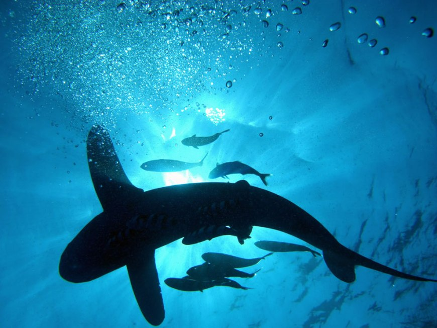 Into the blue, sharks ahead as diver looks up