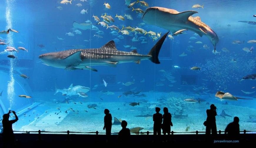 Kuroshio Sea whale sharks