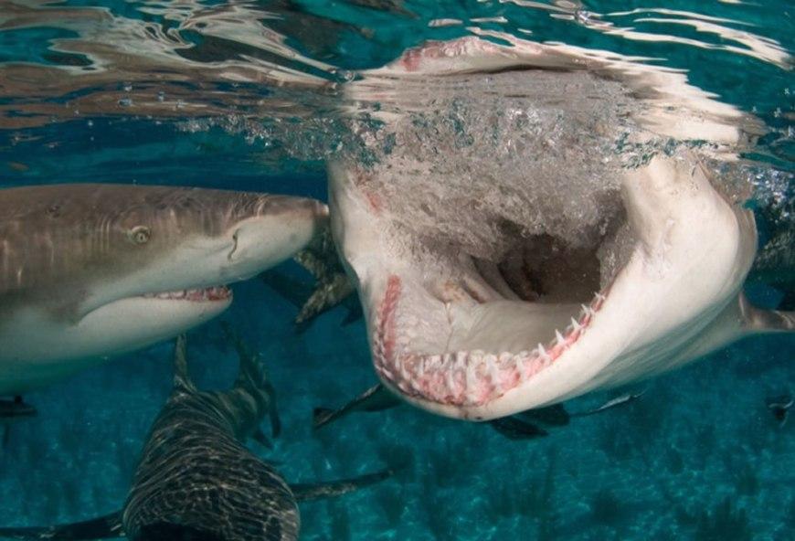 Lemon shark snapping at the surface