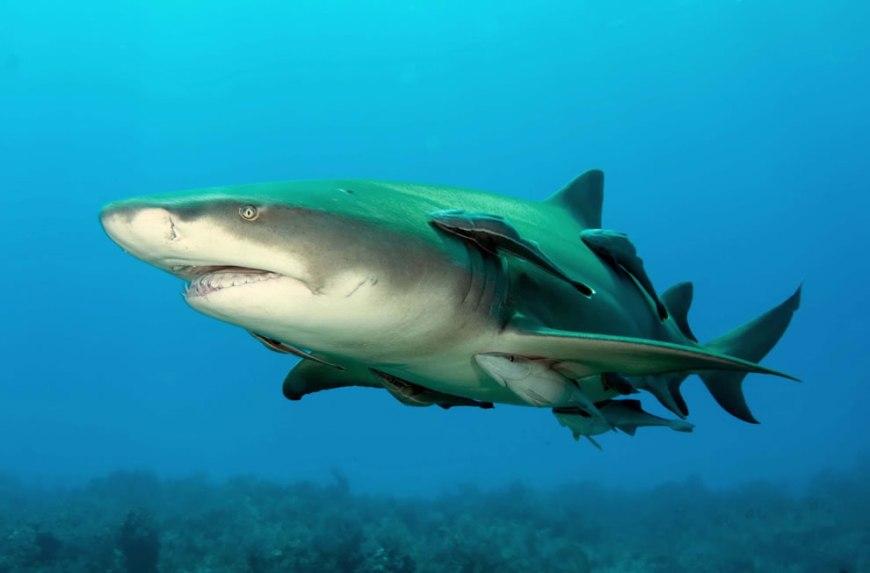 Shark Week Lemonshark Shark Week