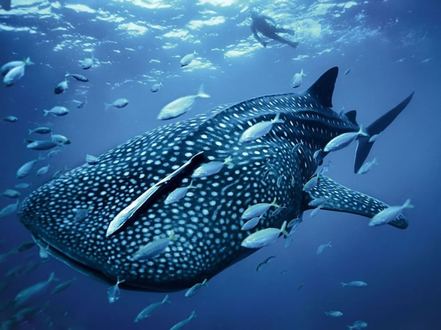 Magnificent Whale Shark