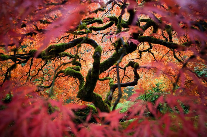 Merit Winner Looking into Another World Japanese Maple in Portland