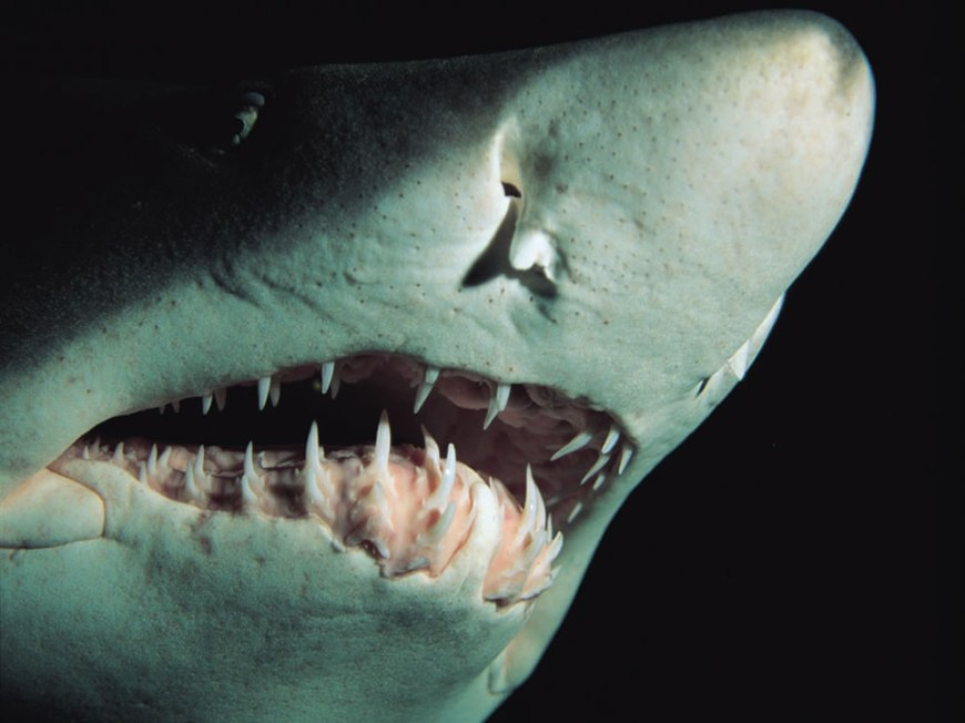 Sand Tiger Shark teeth