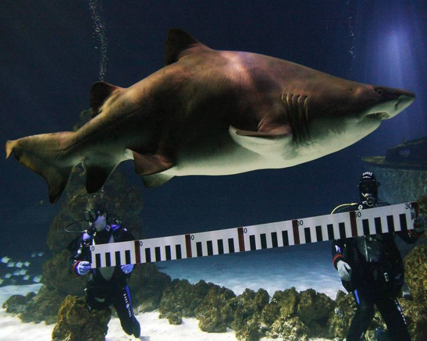 Scuba divers measuring a Sand Tiger Shark