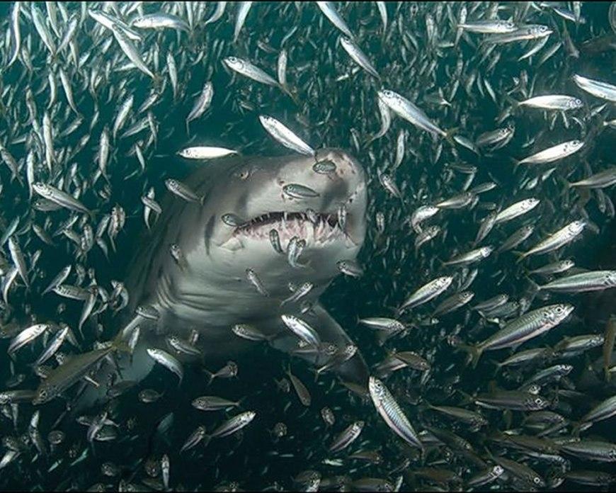 Shark with dinner