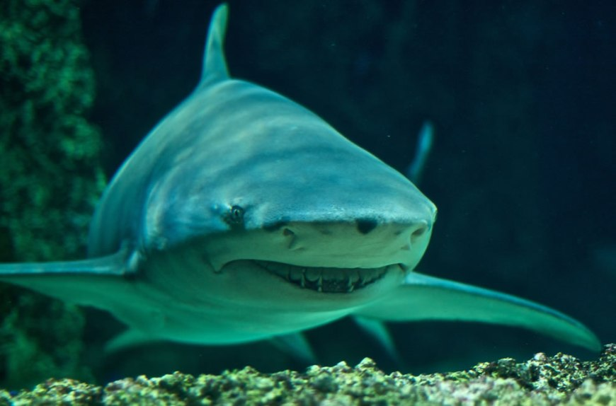Sharptooth lemon shark (sicklefin) in Australia