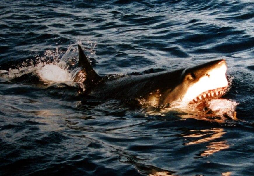 Surfacing Great White Shark