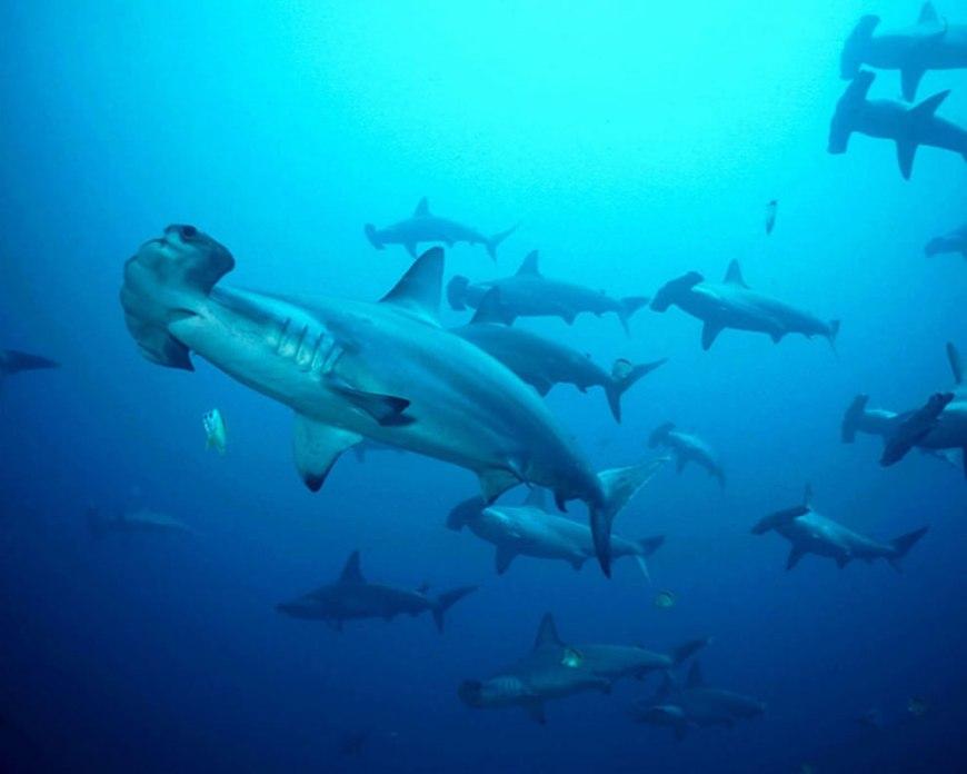 Swarm of Hammerhead Sharks
