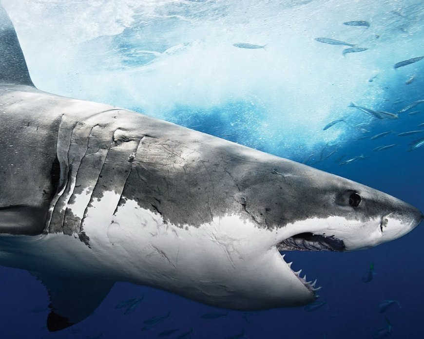 The mighty Megalodon Shark