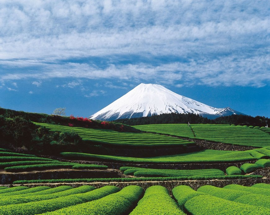Tea fields and Mount Fuji 富士山 Fuji-san